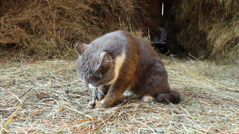 Cat eating a mouse caught in a barn Live Action
