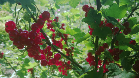 Red currant berries in the garden, closeup view Footage