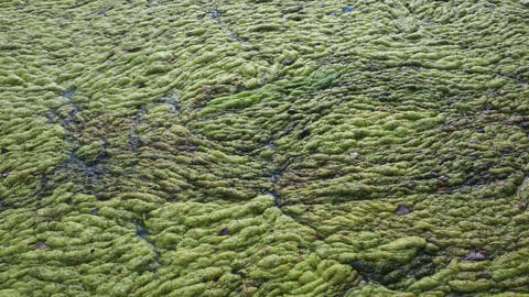 Green duckweed covers small pond Footage