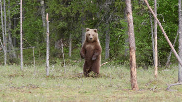 Young brown bear rise and standing looking around alerted Footage