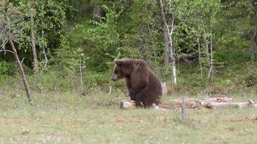 Young brown bear sitting on old branch in swamp Live Action