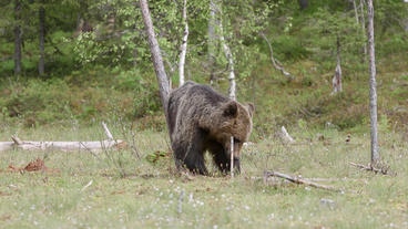 Brown bear itching body for mosquitos against tree Footage