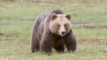 Huge brown bear in swamp looking around Footage