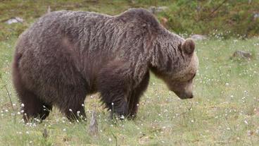 Brown bear in swamp Footage