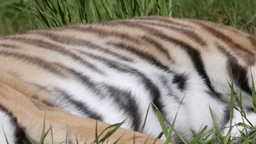 Tiger close up of breathing body Footage