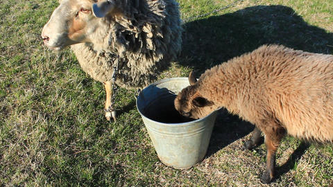 Two Sheep Drinking Water From The Bucket stock footage