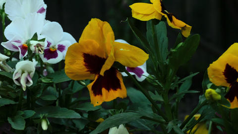 Colourful pansies Footage