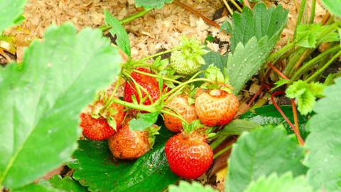 Strawberry Footage