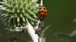 Asian lady beetle feeding on aphids, (4k, 25fps) Footage