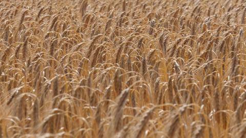Ears of ripe barley waving in the wind, (4K, 25fps) Footage