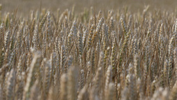 Ears Of Wheat In The Wind, (4K, 25fps) stock footage
