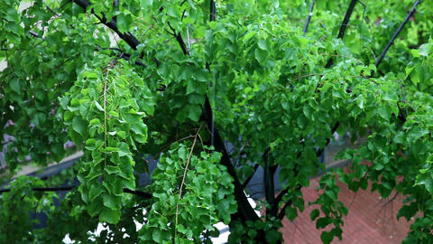 Green Tree Branches Under The Falling Rain stock footage