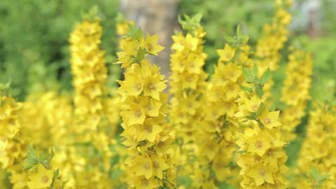 Beautiful flowers loosestrife Footage