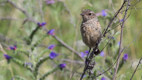 Fledgling Stonechat 4 stock footage