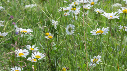 Chamomile 3 stock footage