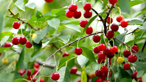 Cherry Tree Full Of Red Cherries Footage