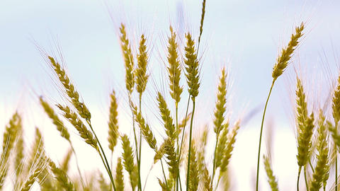 Golden Wheat Fields stock footage