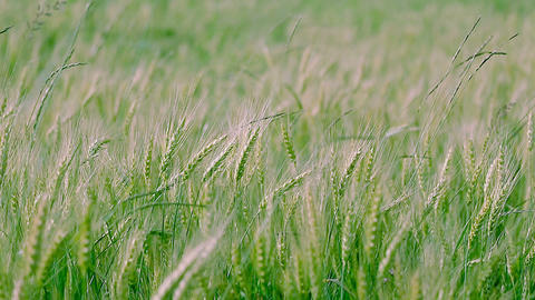 Young green wheat swaying in the wind Footage