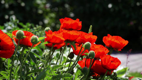 Red poppy field, poppy flowers in the garden Footage