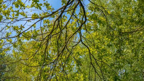 Blätterdach Footage