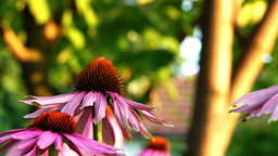 Bumble-bee Feeds On Nectar Purple Coneflower (Echinacea Purpurea) Footage