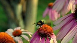 Bumble-bee Feeds On Nectar Purple Coneflower (Echinacea Purpurea) Footage