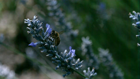 Macro Bee In Slow Motion stock footage