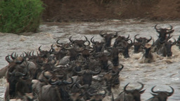 Wildebeest ( Conneathus Taurinus) Herd Crossing The Mara River stock footage