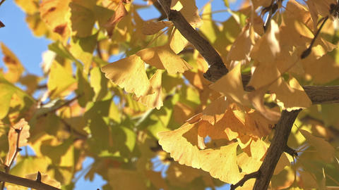 Maidenhair Tree in Showa Kinen Park,Tokyo,Japan Stock Video Footage
