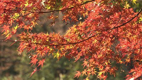 Autumn Leaves in Showa Kinen Park,Tokyo,Japan_2 Stock Video Footage