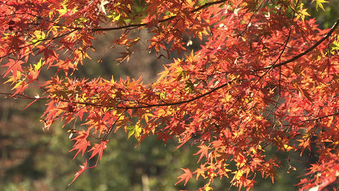 Autumn Leaves in Showa Kinen Park,Tokyo,Japan_2 Stock Video Footage