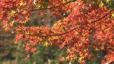 Autumn Leaves in Showa Kinen Park,Tokyo,Japan_2 ภาพวิดีโอ