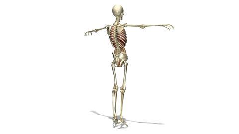 人体模型 回転 1