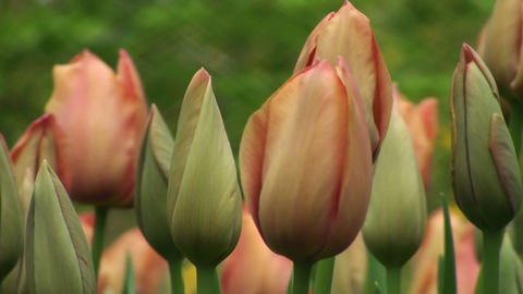 Tulipa Stunning Star Stock Video Footage