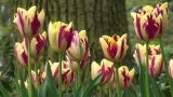Tulipa Grand Perfection Footage