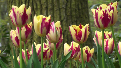 Tulipa Grand Perfection Stock Video Footage