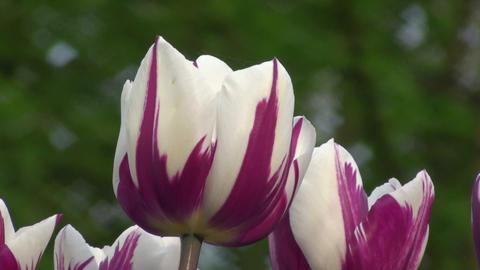 Tulipa Rems Favourite Stock Video Footage