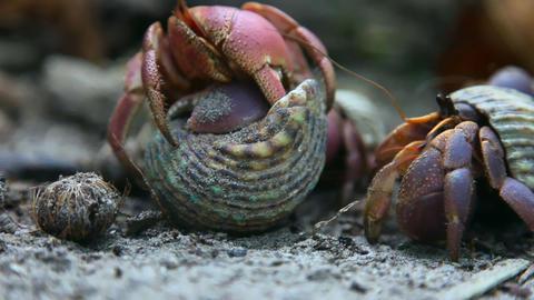 Hermit crab Stock Video Footage