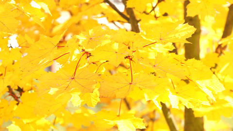 Autumnal Maple Leaves Stock Video Footage