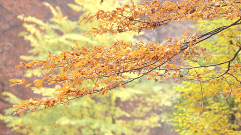 Autumn leaves on swaying branches Stock Video Footage