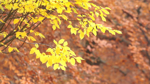 Swaying Autumn Leaves Stock Video Footage