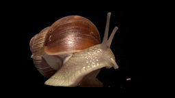 snail front isolated Stock Video Footage