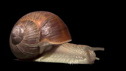 snail side isolated Stock Video Footage