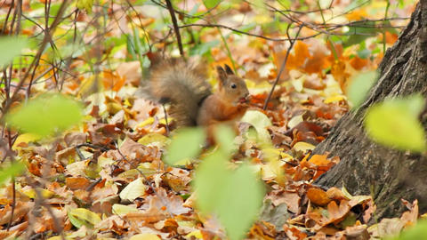 Squirrels, sequence Stock Video Footage
