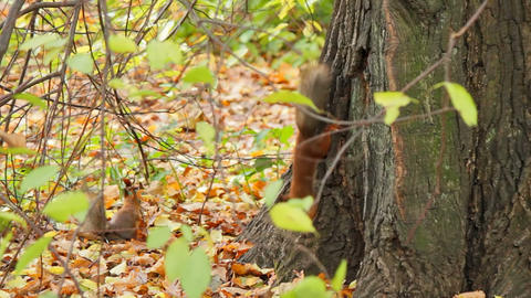 Squirrels, sequence Footage