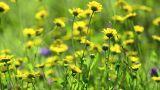 Yellow daisy flowers Footage