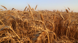 In a wheat field on sunset Footage