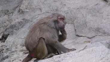 baboon itching in steep slope Footage
