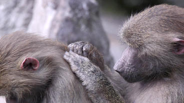 Baboon Cleaning Other Baboons Fur stock footage