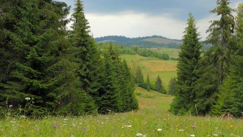 4k, Beautiful landscape, flower meadow, conifers Footage